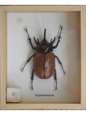 Real 5 Stag Gracilicornis Beetle Insect Taxidermy in Box