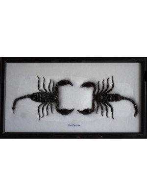 Real Scorpion taxidermy in frame