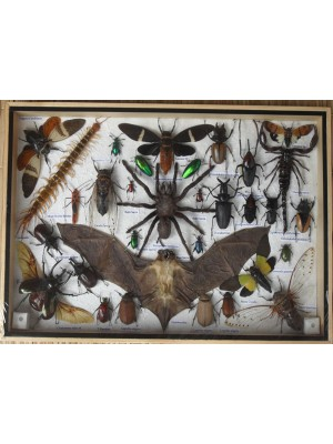 Real Multiple INSECTS BEETLES Bat Scorpion Spider Centipede Collection in wooden box/big size
