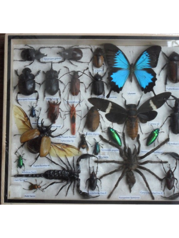 REAL Multiple INSECTS BEETLES Butterflies Scorpion Spider Collection in wooden box/big size