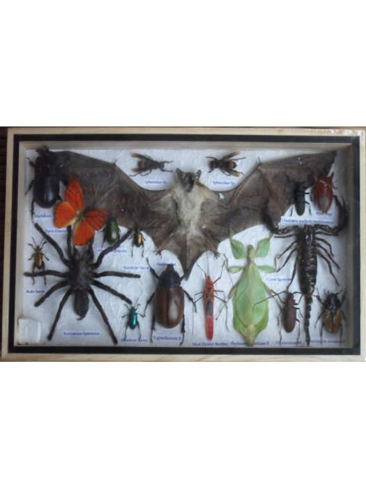 REAL Multiple INSECTS BEETLES Spider Scorpion Bat Butterfly Collection in wooden box