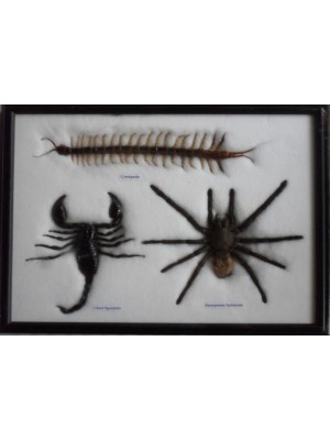 Real spider centipede scorpion collection Taxidermy framed