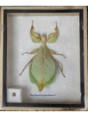 REAL Leaf Insect PhyliumSicipholium in wooden box