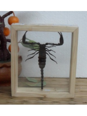 Real Scorpion Insect Taxidermy Double Glass in frame