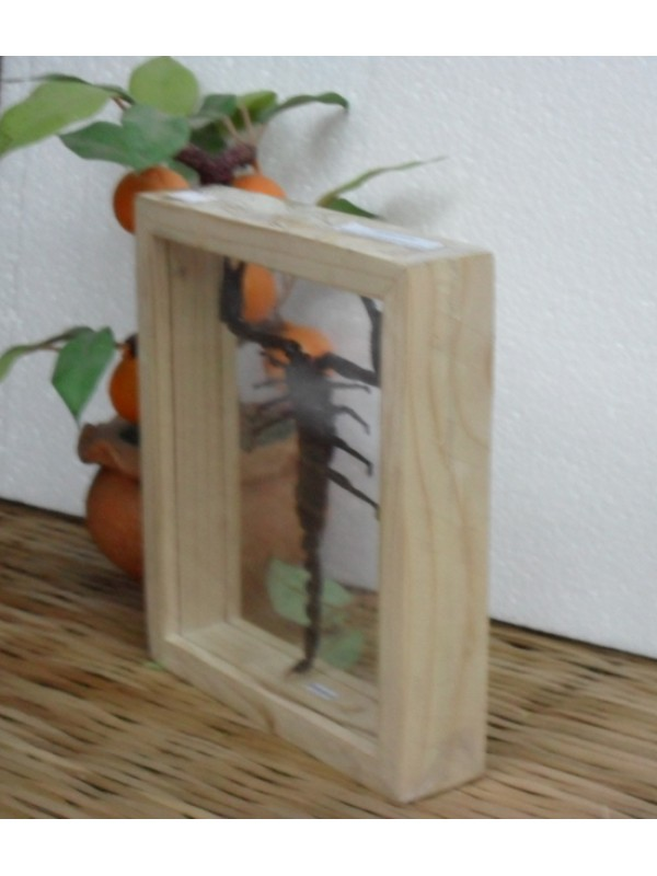 real scorpion insect taxidermy double glass in frame - Double Glass Frame