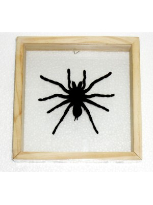 Real Spider Tarantula Insect Taxidermy Double Glass in Frame