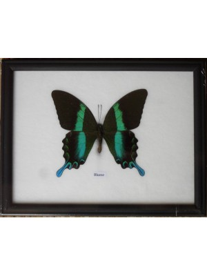 Real Single Papilio BLUMEI Butterfly Taxidermy in Frame