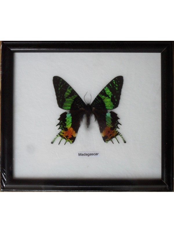 Real Single MADAGASCAR Butterfly Taxidermy in Framed